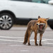 Urban fox. Glasgow. by James A Moore www.blackislehides.co.uk