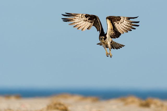 the Osprey Rising...