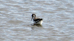 Avocet chick, RSPB Titchwell Marsh