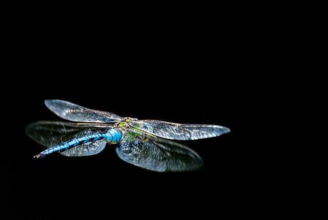 Emperor Dragonfly in flight, Nikon D610, Sigma 150-600mm F5-6.3 DG OS HSM | S