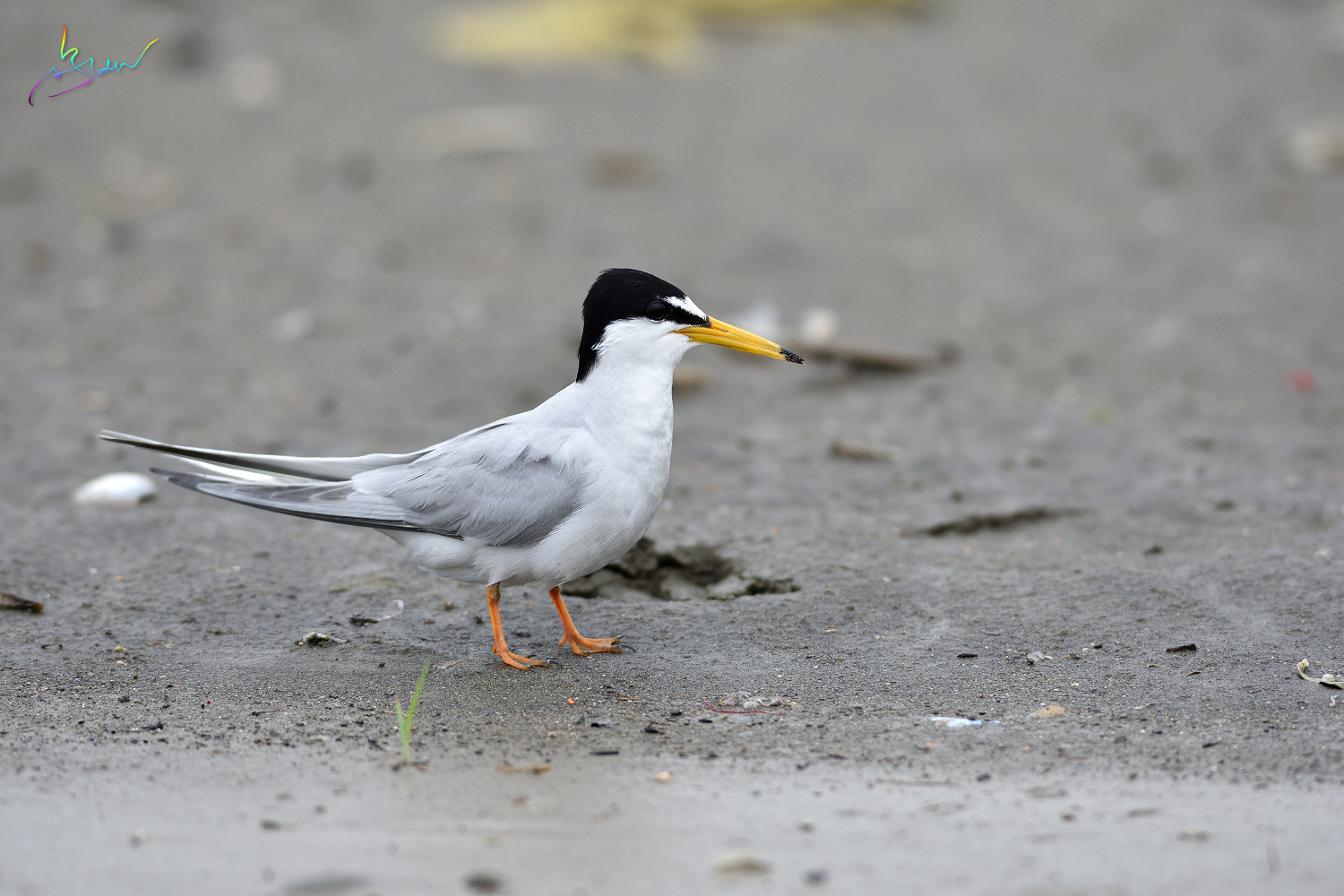Little_Tern_4089