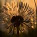 Dandelion at first light