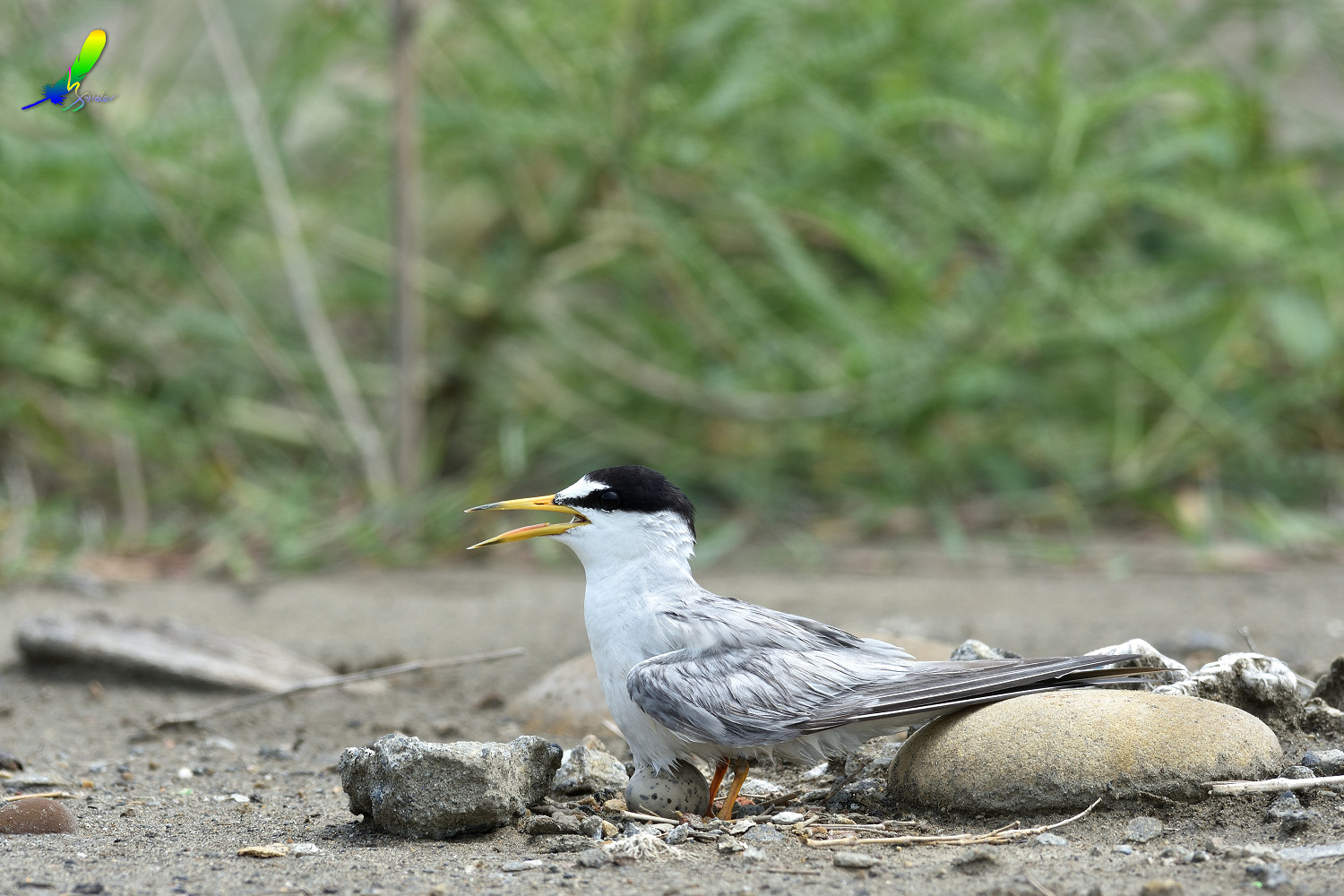 Little_Tern_6284