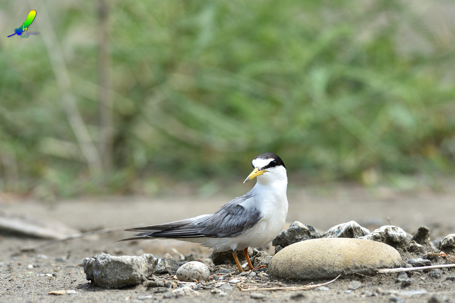 Little_Tern_6220