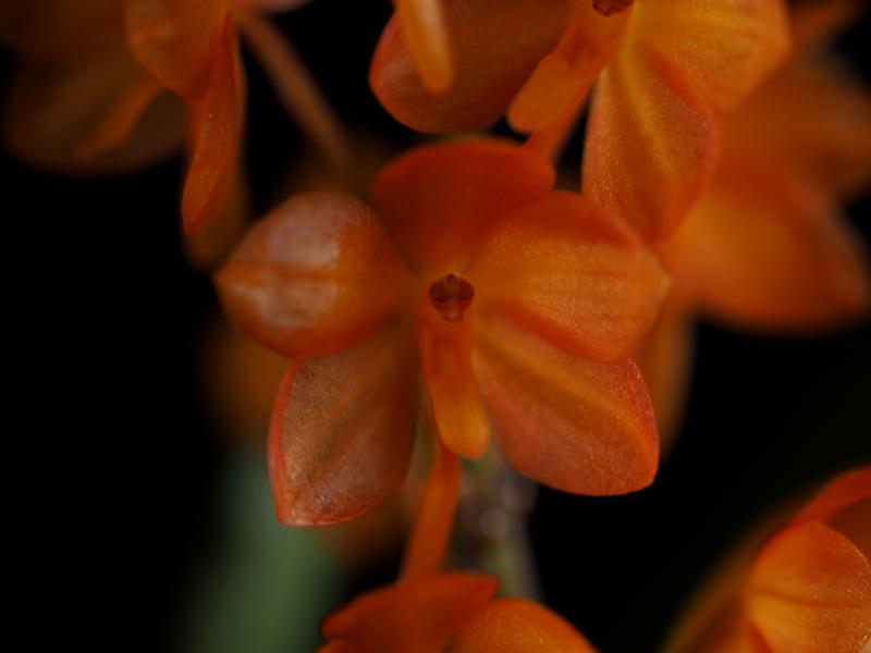 Les orchidées de Cloo, saison 2017 35071069503_b6a2dd1a7f_o