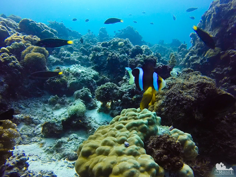 Clownfish with long pectoral fins