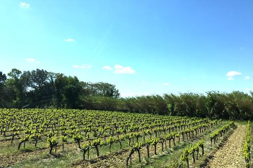 Weinreben in der Provence