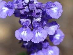 violet-blue Salvia (unsure what cultivar)