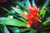 Flower of Bromeliad, Aechmea fasciata in garden. background texture