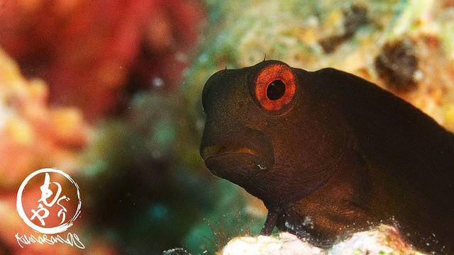 インドカエルウオ幼魚ちゃんも大量発生中♪