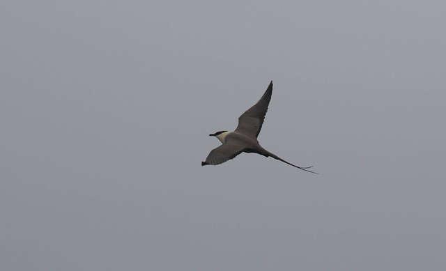 Long-tailed Jaeger 9, Canon EOS 7D MARK II, Canon EF 400mm f/4 DO IS