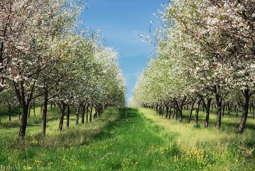 leelanaupeninsula mi may michigan solontownship traversecity agriculture cherries cherry farm landscape orchard spring unitedstates us
