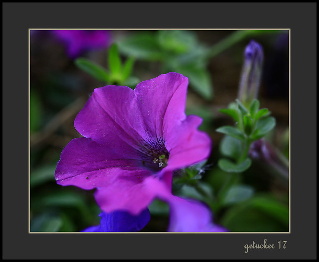 Violet Crush