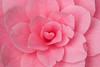 Pink Camellia (IV), 3.10.17