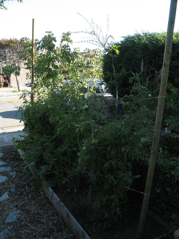 Tomato staking strategies