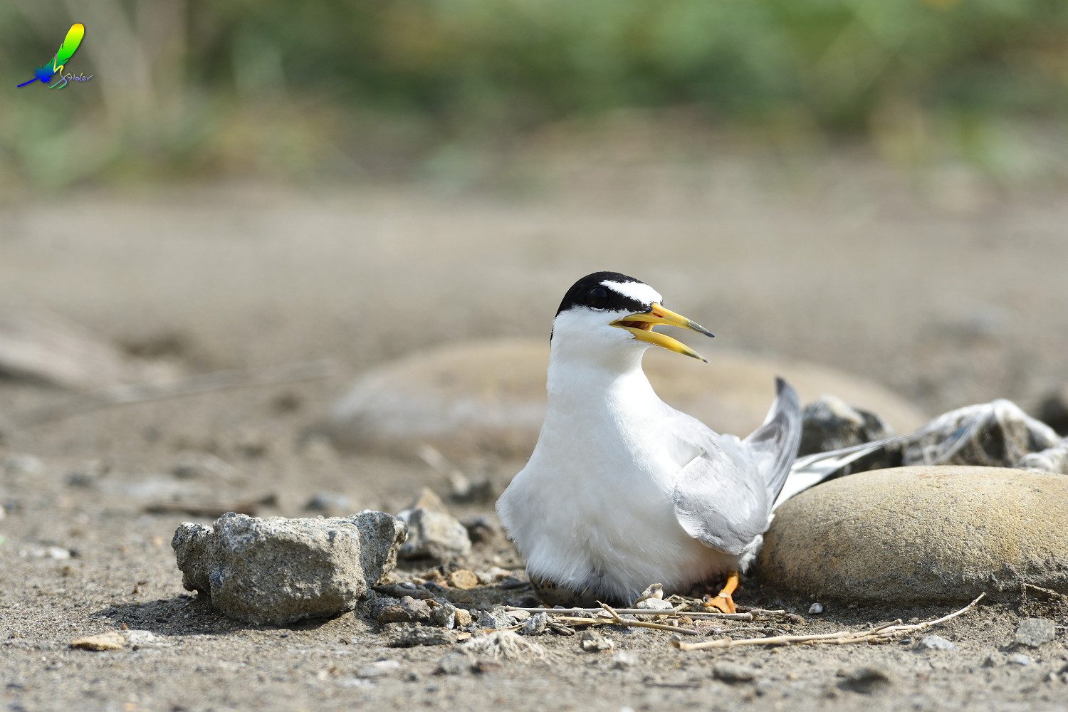 Little_Tern_6809