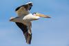Pelican Flight by jeff_a_goldberg