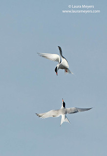 Common Terns Displaying Behavior
