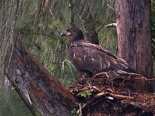 Bald Eagle juvenile1 2-20170608