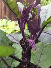 Kamo Japanese eggplant