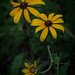 Blackeyed Susans on the Side of the Road