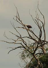 eagle on the chat tree (Haliaeetus albicilla)