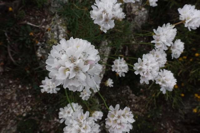 Pompon flower