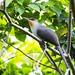Pájaro bobo o Taco (Coccyzus longirostris) by Francisco Alba Suriel