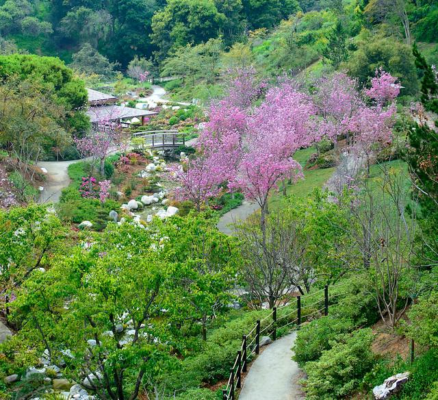 Cherry Blossom in Balboa Park