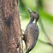 Buff-necked Woodpecker (female) by BP Chua