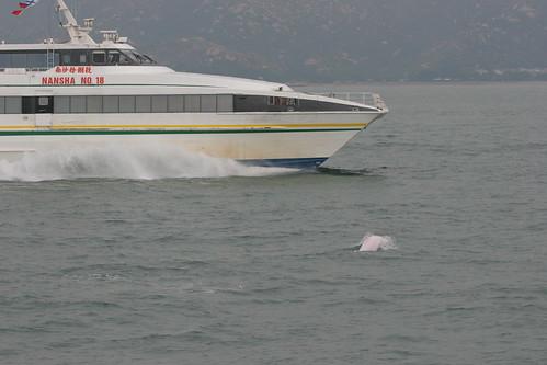 高速船與海豚相