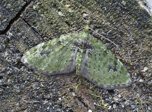 V-Pug Chloroclystis v-ata Tophill Low NR, East Yorkshire July 2017