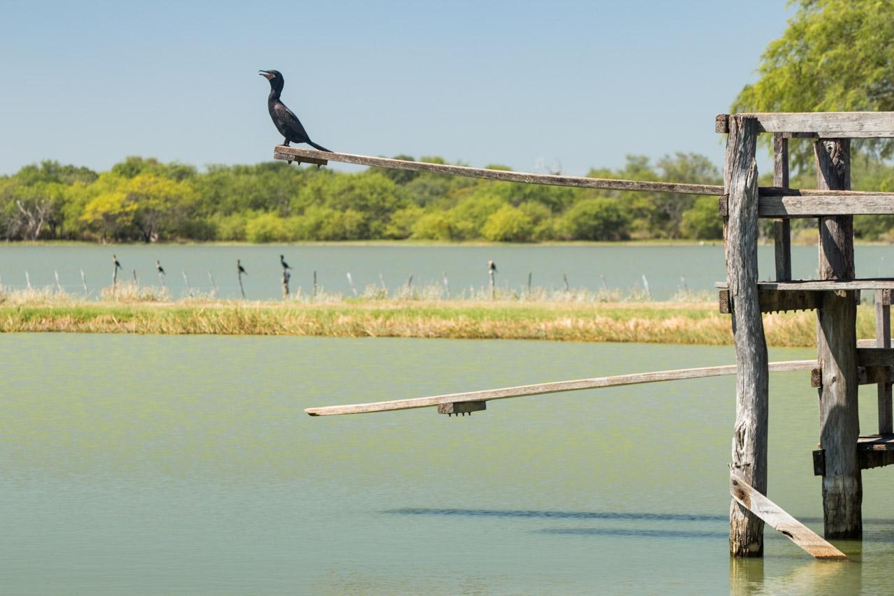 Los cormoranes (Phalacrocoracidae) son una familia de aves acuáticas. Se alimentan de los peces que capturan bajo el agua, pueden zambullirse durante más de un minuto, y alcanzan una profundidad de aproximadamente 10 m. Sus plumas no son completamente impermeables, lo que les permite hundirse y bucear con facilidad, pero una vez en tierra, deben extenderlas para secarlas. (Tetsu Espósito)