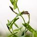 Aristolochia spec.; Aristolochiaceae (1)