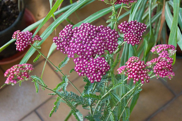 Achillea millefolium - cultivar