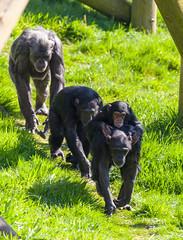 Chimpanzee Hananyas Group #4