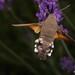 DSC04887 - Kolibrievlinder ( Macroglossum stellatarum ) - Hummingbird Hawk-moth by Arnoldus1942