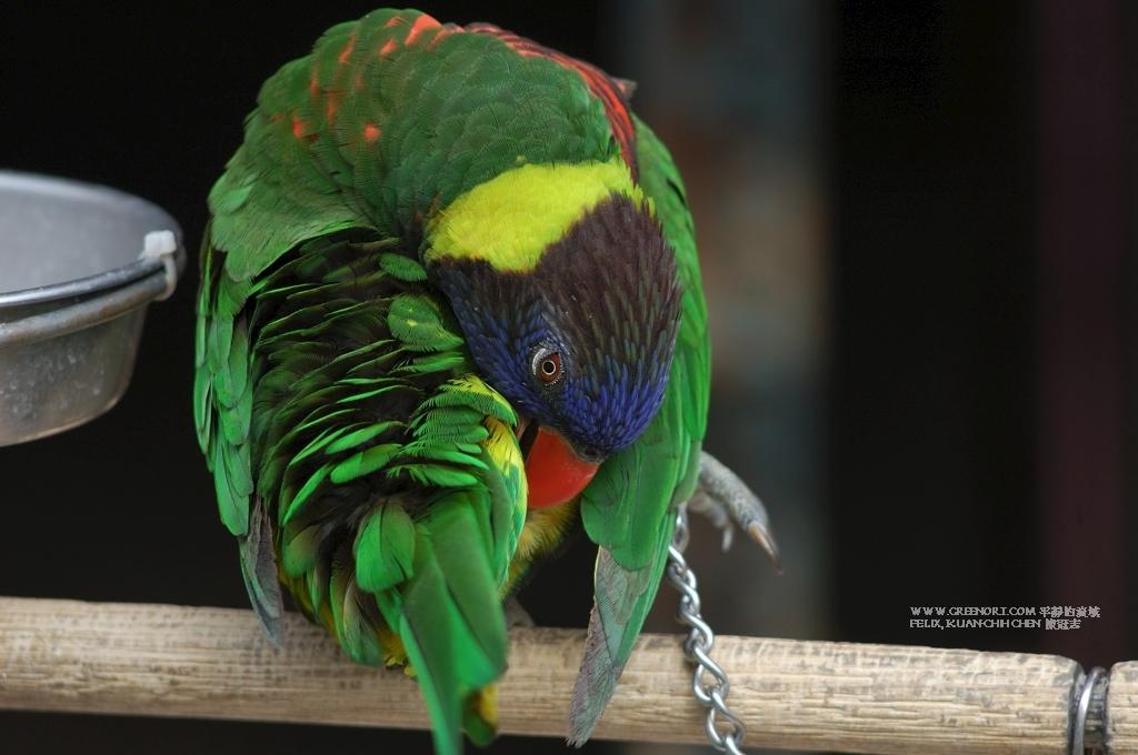 動物攝影: 鳥店門口被展示的鸚鵡 (Animal Photography Chained Parrot)