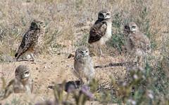 Mom And Four Curious Chicks -- Burrowing Owls (Athene cunicularia); Los Lunas, NM [Lou Feltz]