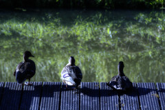The Three Moonlit Ducks