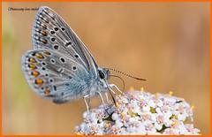 Common blue / Argus.