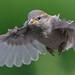 Juvenille Sparrow by gazzamateur