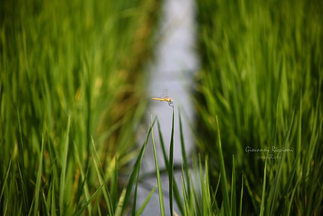 Dragonfly on rice fields Novara Italy