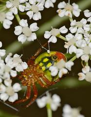 Green Orb-spider (Araniella alpica)