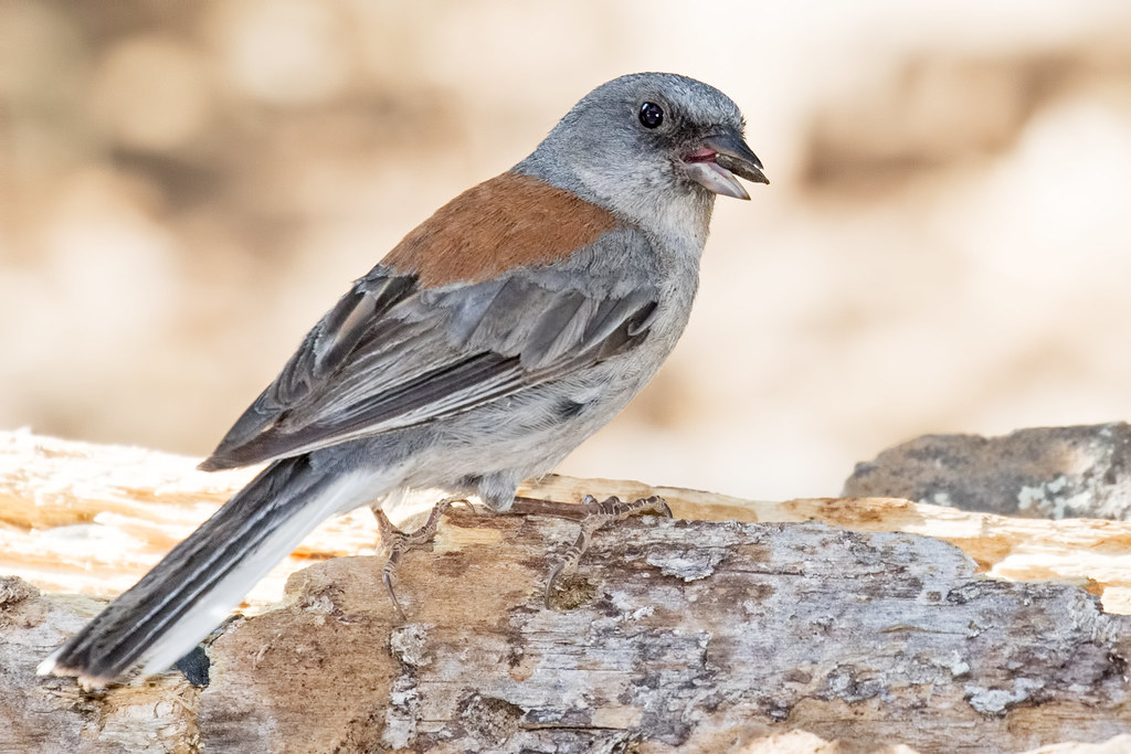 Dark-eyed-Junco-48-7D2-070317