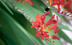 Red Crocosmia Lucifer Flowers 3 of 3