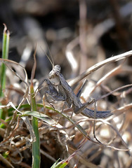 Mediterranean Ground Mantis (Ameles decolor)
