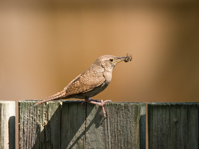 House Wren with a nice juicy spider