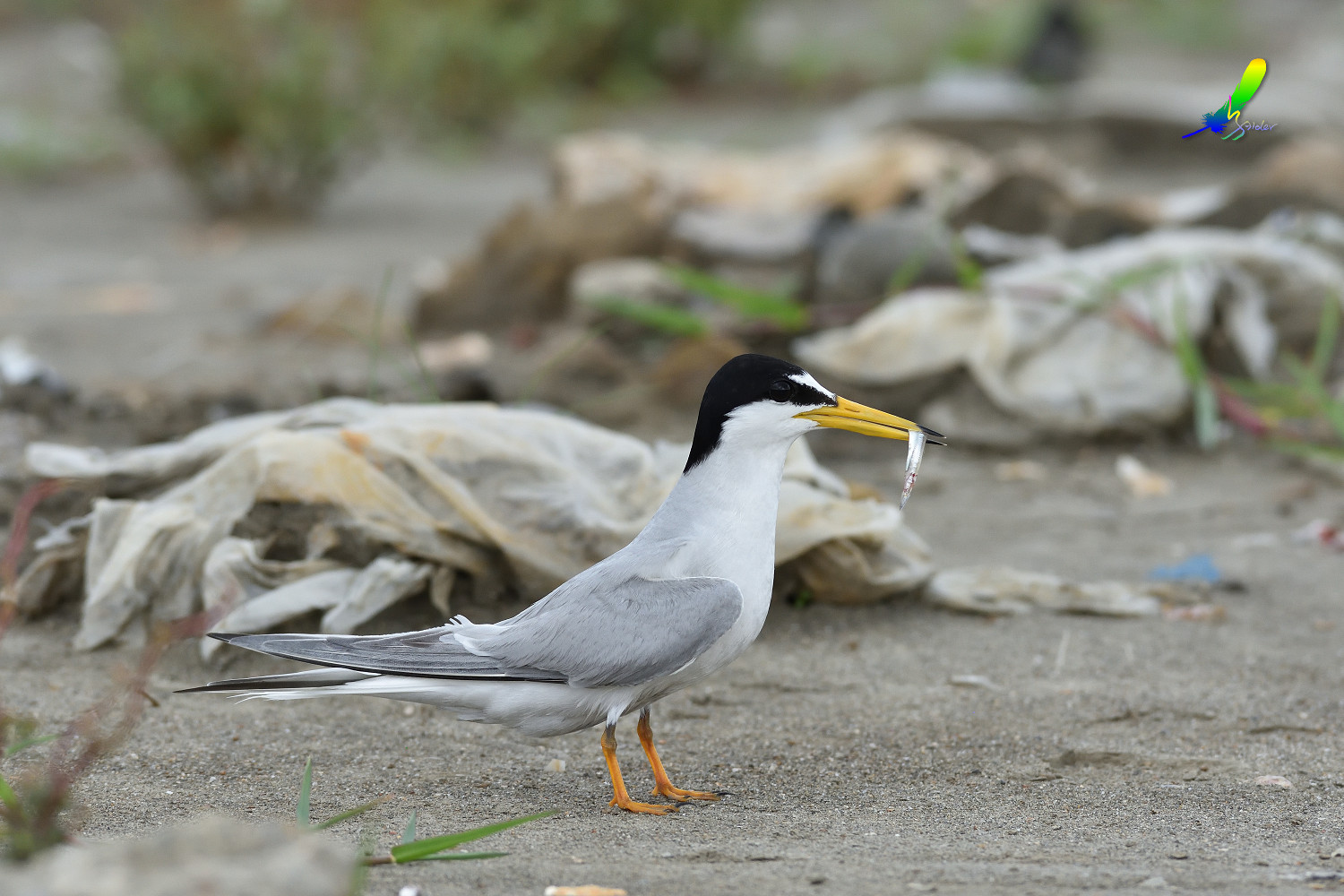 Little_Tern_7888