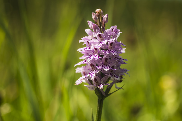 Common Spotted-Orchid   Dactylorhiza fuchsii   Orchidaceae